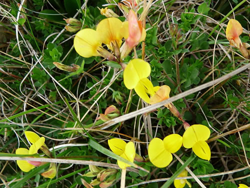 Bird's-foot Trefoil Flowers in the Burren Photo by Michael Clarke - Plants and Flowers of the Burren - A Different Visit to Ireland