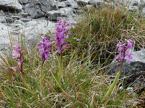 Early Purple Orchids in the Burren Photo by Michael Clarke - Plants and Flowers of the Burren - A Different Visit to Ireland