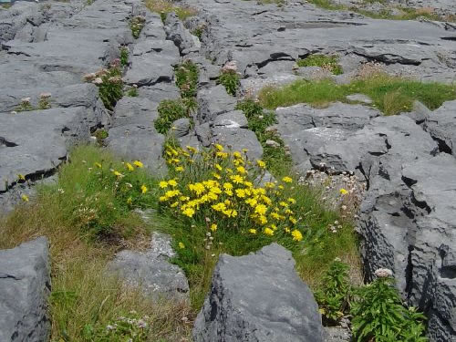 Flowers Growing in the Burren Photo by Dusi BBG - Plants and Flowers of the Burren - A Different Visit to Ireland