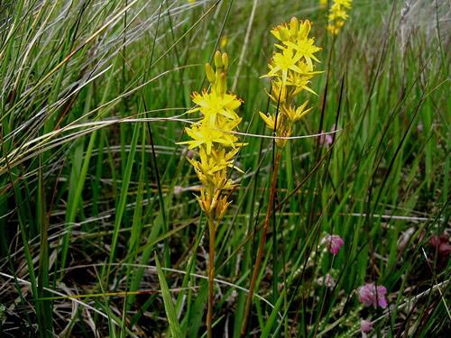 Narthecium ossifragum - Ireland - Roundstone bog Photo by Patrice78500
