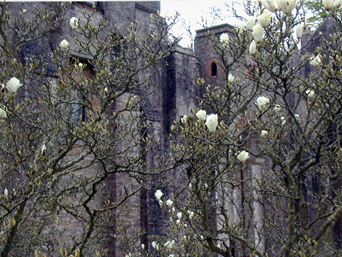 Magnolia at Compton Castle Photo by Chris Gunns
