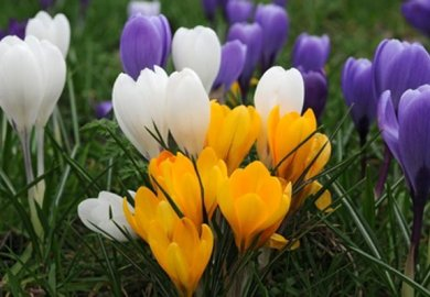 How To Get More Flowers Crocus