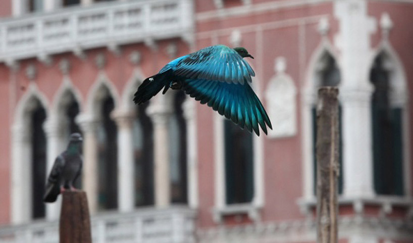 colorful pigeons amongst a flock of grey at the venice