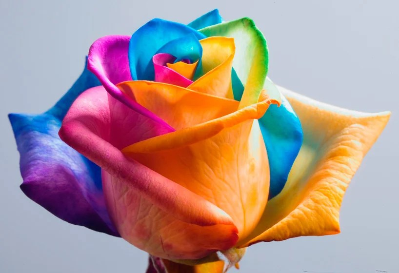 make your own real rainbow roses