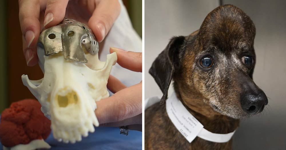 veterinarians 3Dprint a piece of a skull for a dachshund