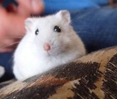 Gizmo white dwarf hamster