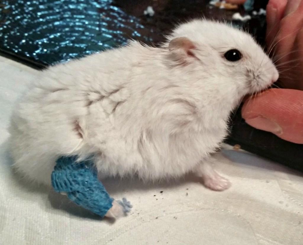 hamster cast, dwarf hamser, white hamster, cast