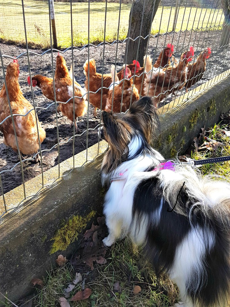 Papillon, chickens, dogs and chickens