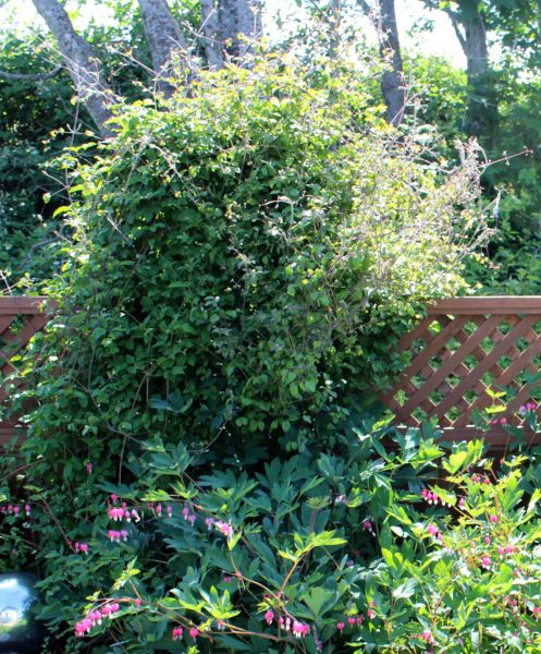 Add a trellis to your existing fence. This is added to a standard 8' wide pre-fab cedar fence panel. #trellis Moster plant