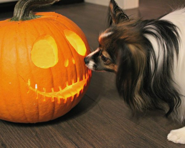 Week 5 of the one room challenge is dogs and decor with Sage the paplillion and Jack Skellington