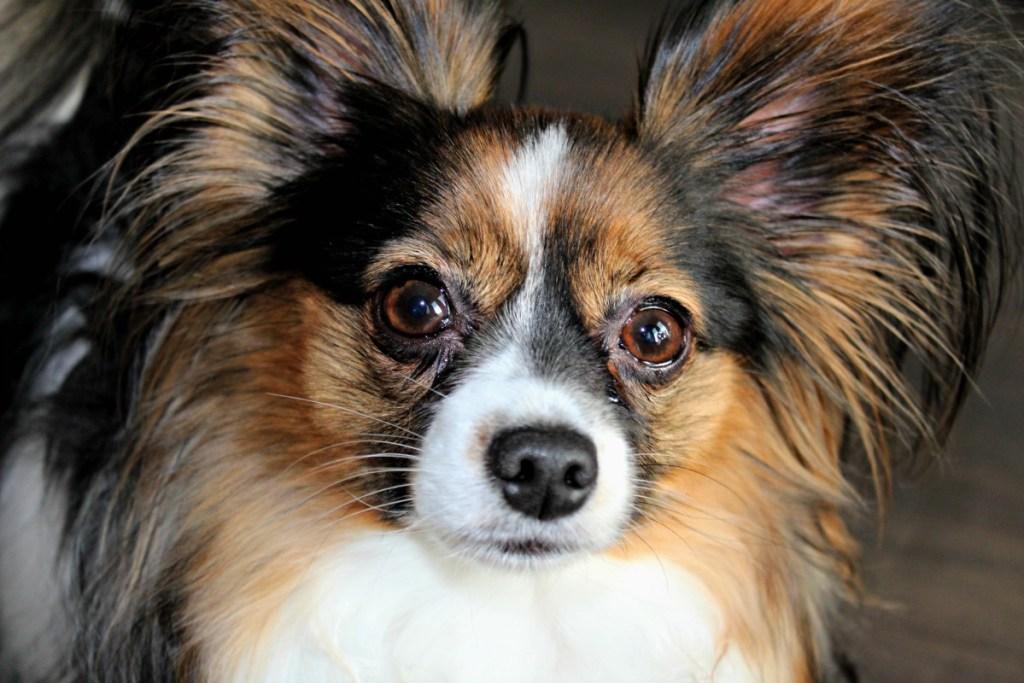 Sage the Papillon|Papillon dog}beautiful dog