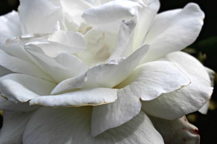 Sugar moon hybrid tea rose