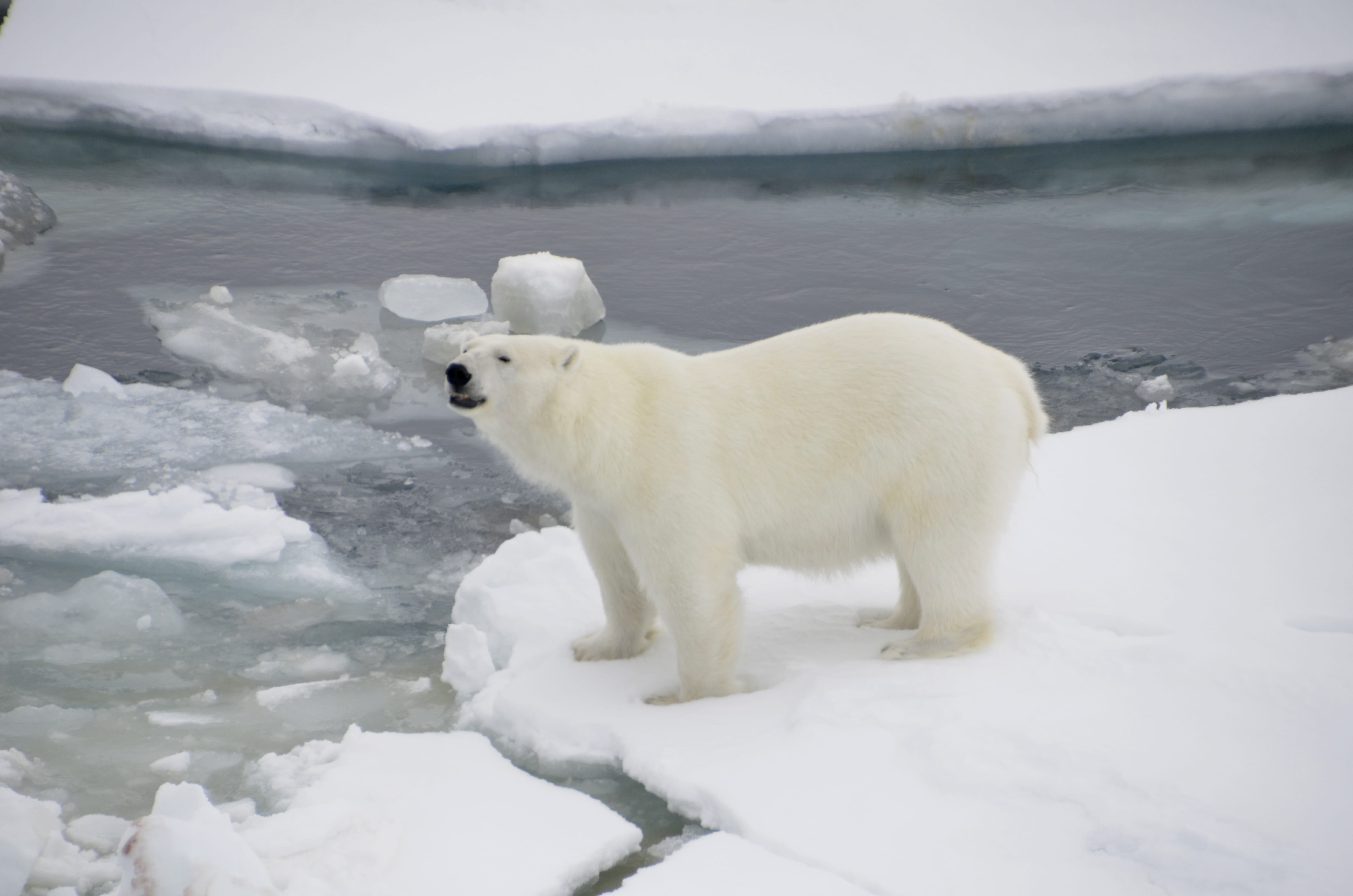 Spotting Polar Bears In The Arctic Circle