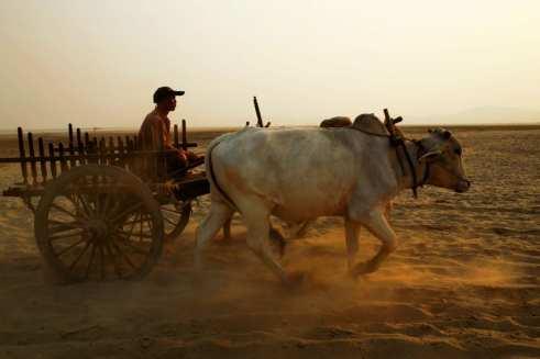 ox cart rides