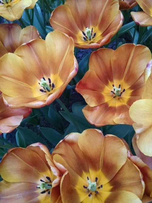 Keukenhof, The Netherlands, tulips