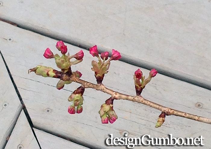Some Cherry Blossom Buds