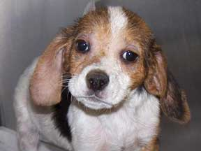 Baby Beagle Leeloo, from the B.R.E.W. website