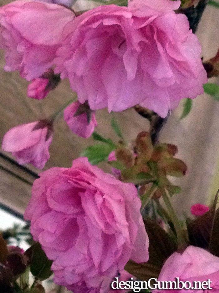 pink pom pom Kwanzan cherry blossoms up close