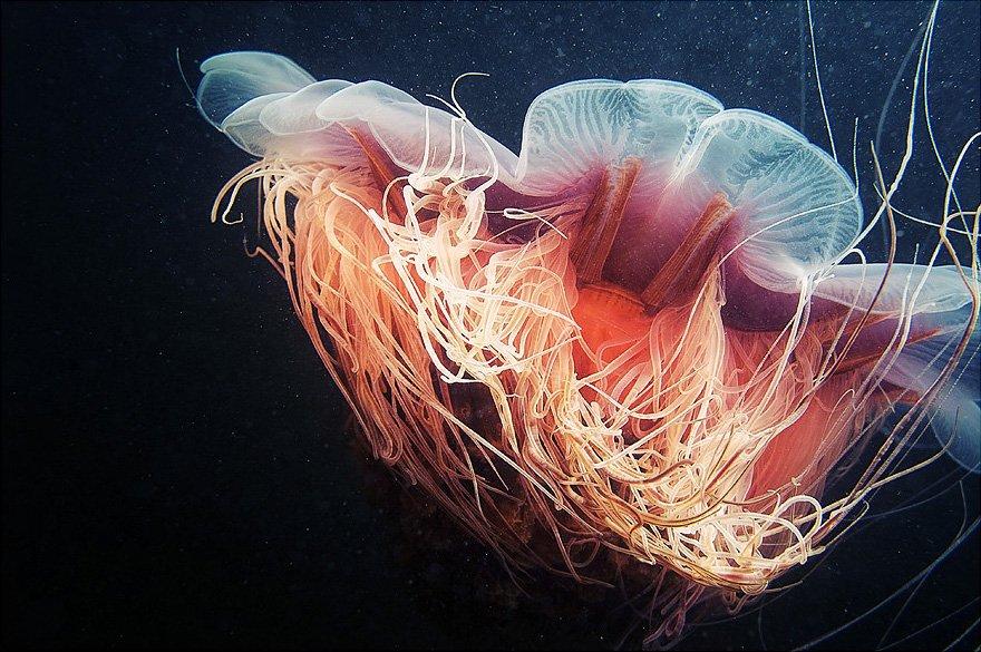 cyanea-arctica-closeup