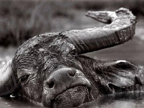 Buffalo, Indonesia Photography