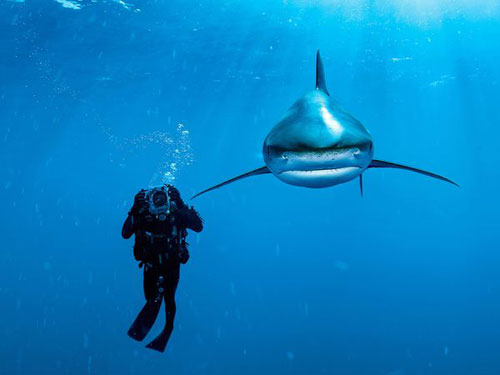 Oceanic Whitetip Shark, Bahamas Photography