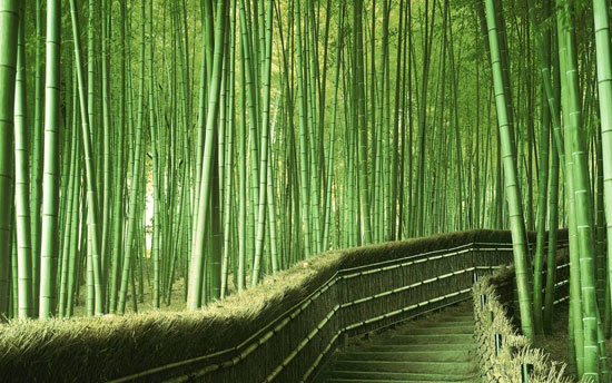 Bamboo Forest in Kyoto, Japan Nature Photography