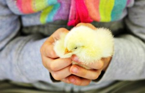 Chirp! Chirp! Holding a Baby Chick at Centennial Farm – Wordless Wednesday