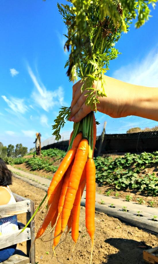 Tanaka_Farms_Carrots