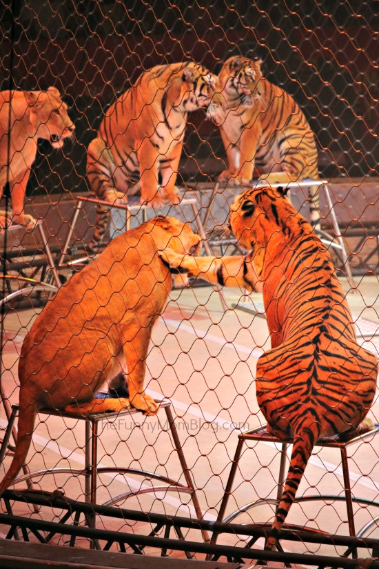 ringling_bros_tigers_and_lions