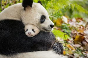 Celebrate Earth Day With Disneynature's Born In China In Theaters 4/21 #borninchina