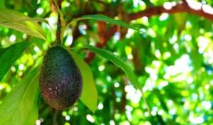 Award Winning Guacamole Made With California Avocados