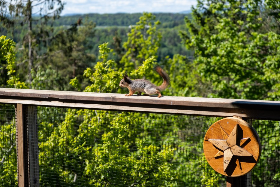 Tretopphytter Oslofjord, Norway, treetop cabin, nature, view, Falkeredet, squirrel