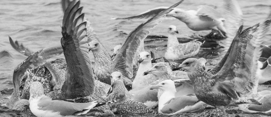 A flock of seagulls in water in black and white