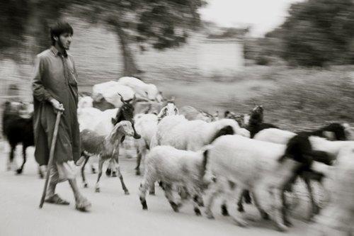 Herding Goats, Sindh Province, Pakistan