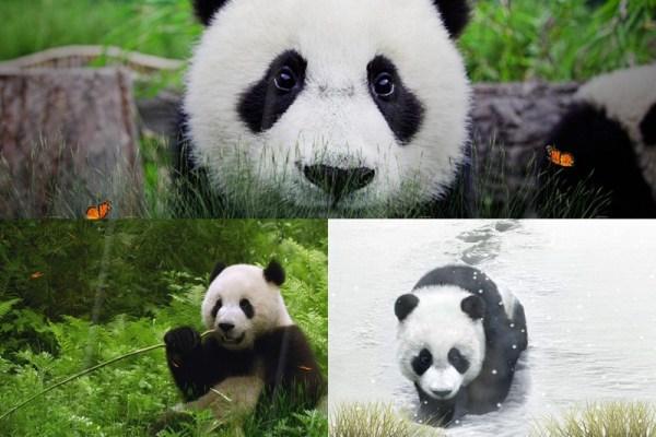 Cute Panda Animated Wallpaper Preview