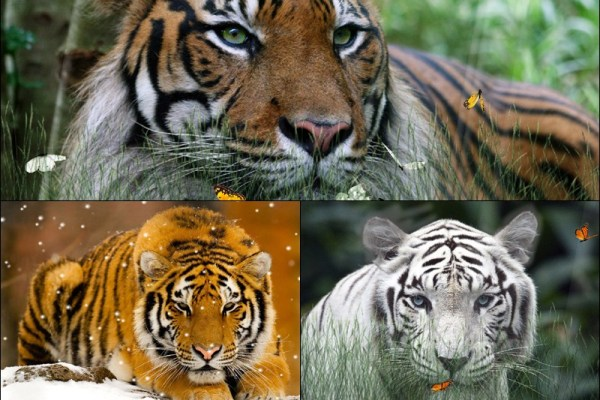 Wild Tigers Animated Wallpaper Preview