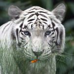 Wild Tigers Animated Wallpaper
