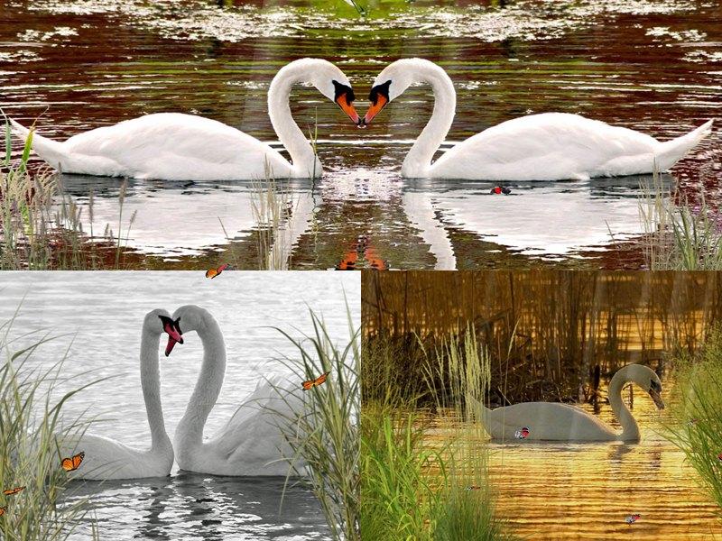rp_Swan_Preview.jpg