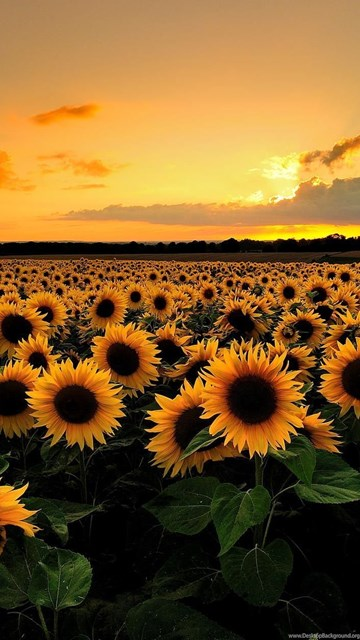 Ipad Mini Wallpaper Hd Download Sunflower Field Backgrounds Hd Wallpapers Desktop