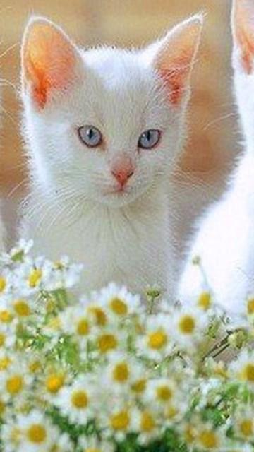 Cute Kittens Wallpaper For Iphone 16 White Kittens Wallpapers Wallpapers Cute Cats And