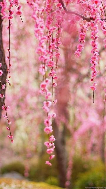 Pink Rose 3d Wallpaper Beautiful Spring Pink Flowers Bloom Trees Wallpaper