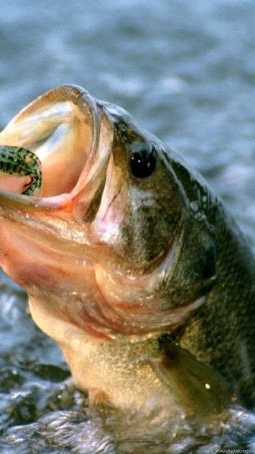 Live Wallpaper On Home Screen For Iphone X Largemouth Bass Fish Wallpapers Desktop Background