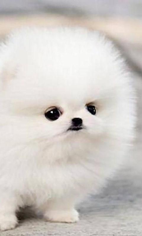 Cute Computer Wallpaper Backgrounds Teacup Pomeranian Puppy Maggie Wallpaper Desktop Background
