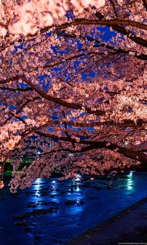 Wallpaper Iphone 4s Size Japanese Cherry Blossom Desktop Wallpapers Desktop Background