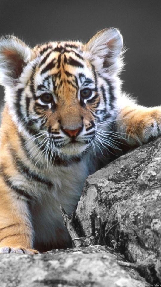 Desktop Wallpaper Cute Full Screen Hd Cute Baby Tiger Wallpapers Hd 1080p Full Size