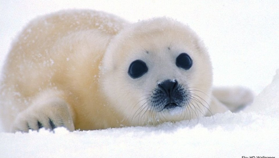 Cute Baby And Baba Wallpaper Cute Baby Harp Seal Pup Desktop Background