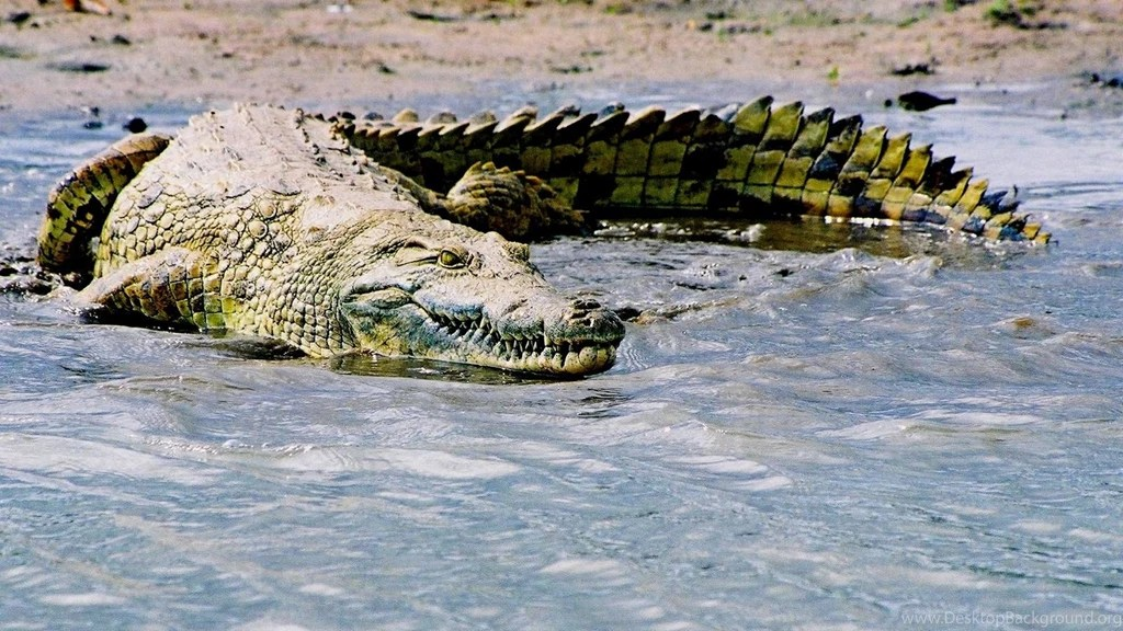 saltwater crocodile adaptations nice
