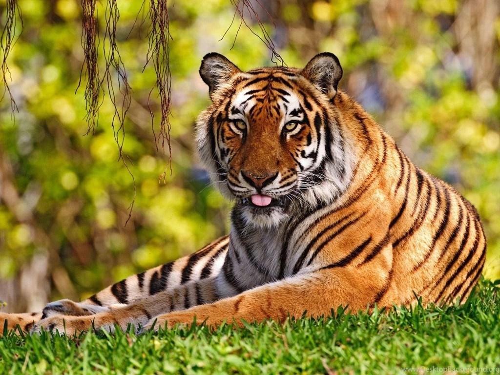 tiger hd wallpapers desktop