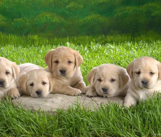 Desktop Hd Cute Puppy Wallpapers Free Download D Hd Pictures Desktop Background