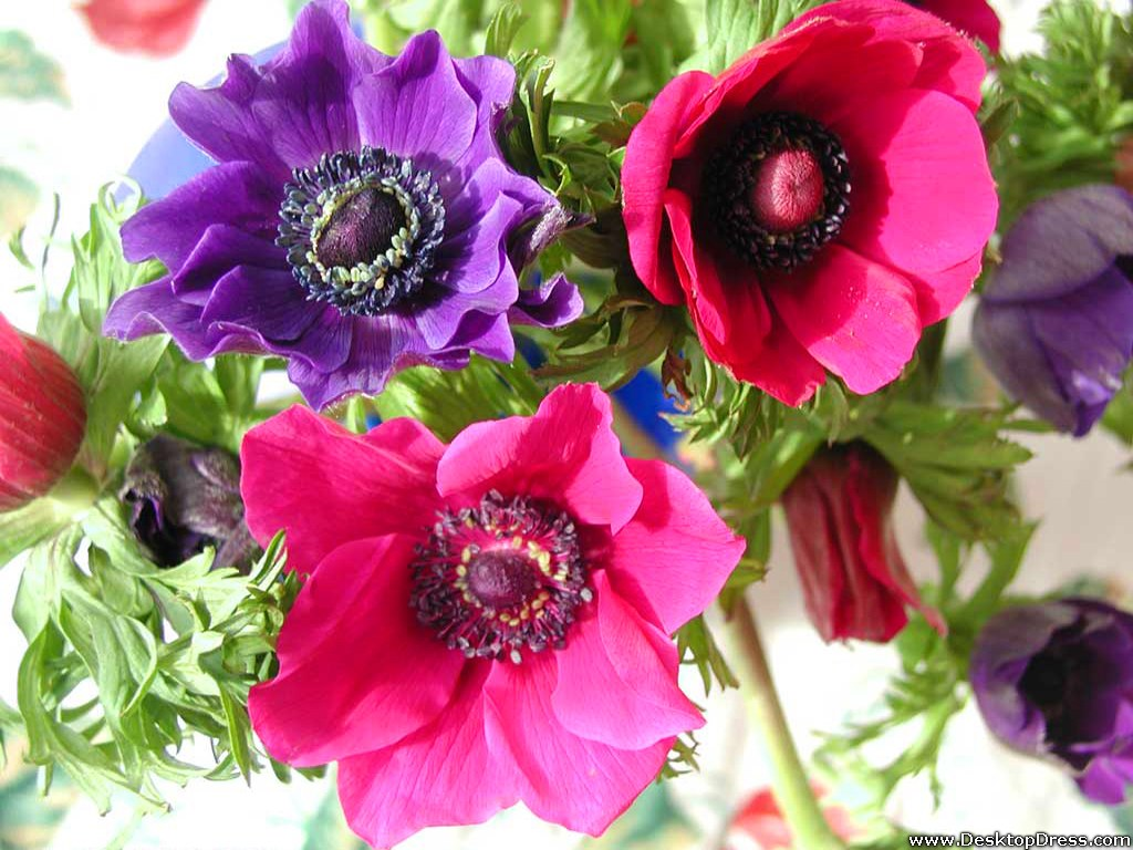 Desktop Wallpapers  Flowers Backgrounds  Anemones  www
